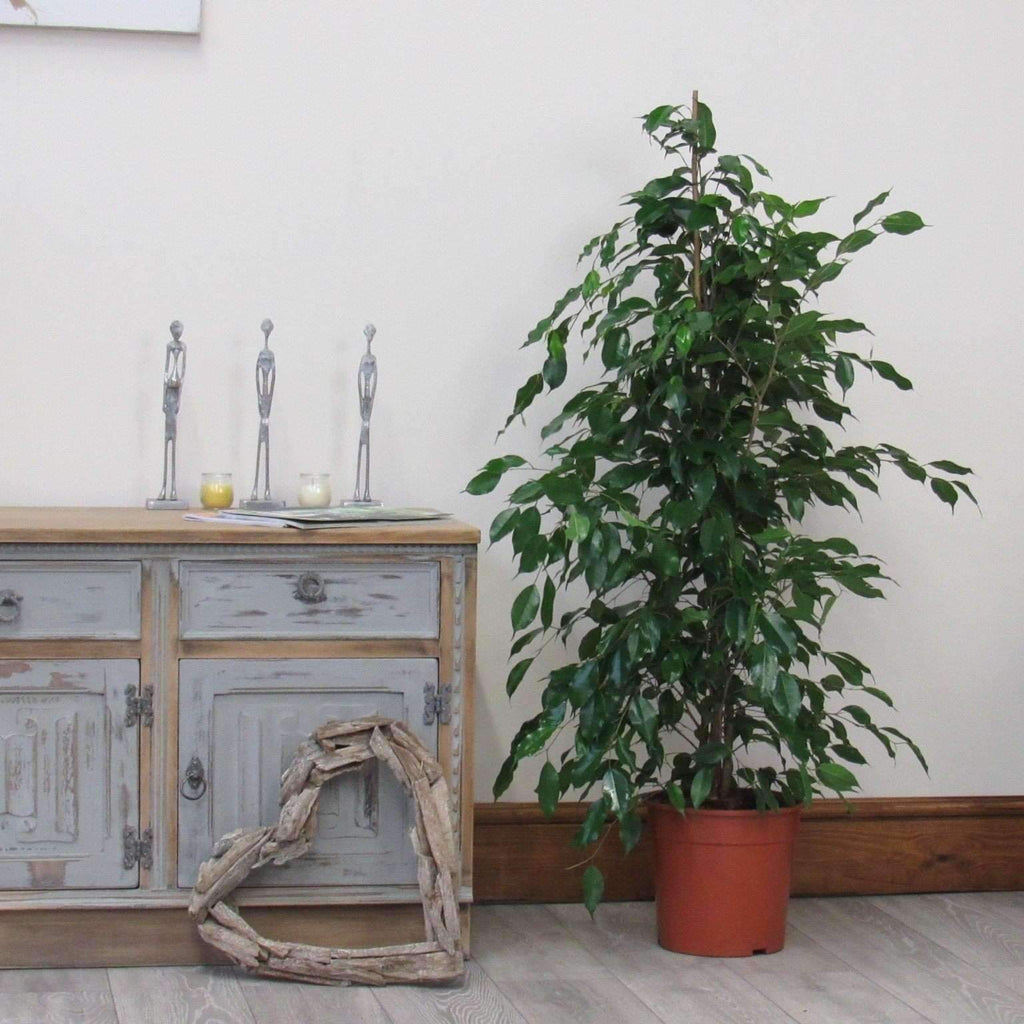 Ficus Indoor Plant (Weeping Fig) - 1.4m Tall