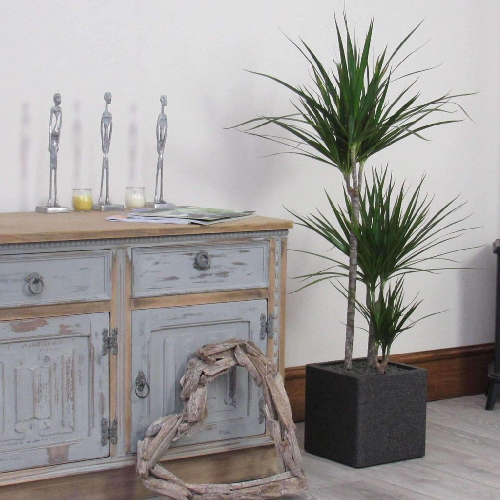 Large 1.2m Dracena Marginata Indoor House or Office (Inc Choice of Planter)