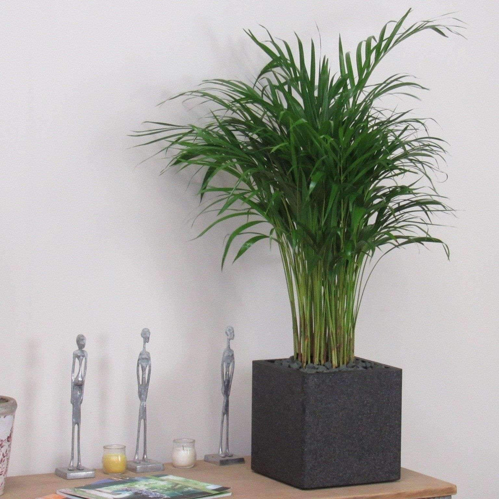 Areca Palm Tree Beautiful 1m Indoor Plant (Complete)