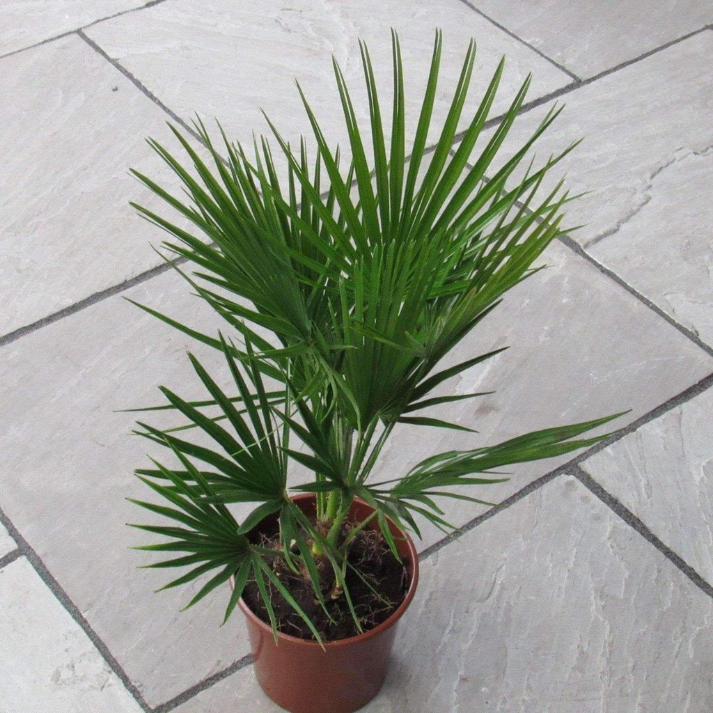 Chamaerops Humilis Palm Tree Planter 70cm-80cm Indoor or Outdoor