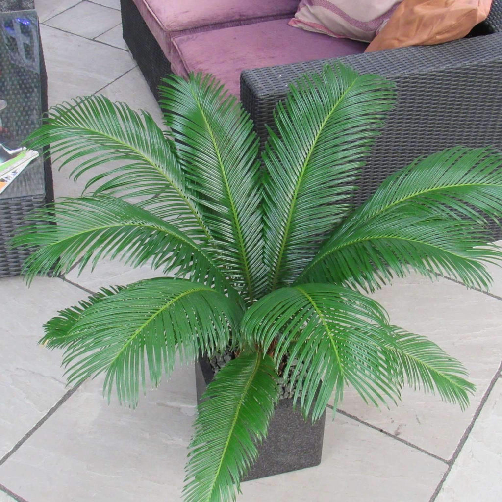Cycas Revoluta Palm Tree (sago palm) for Indoor or Outdoor (Complete As Shown)