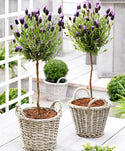 Pair of Stunning French Lavender Standards - £19.95