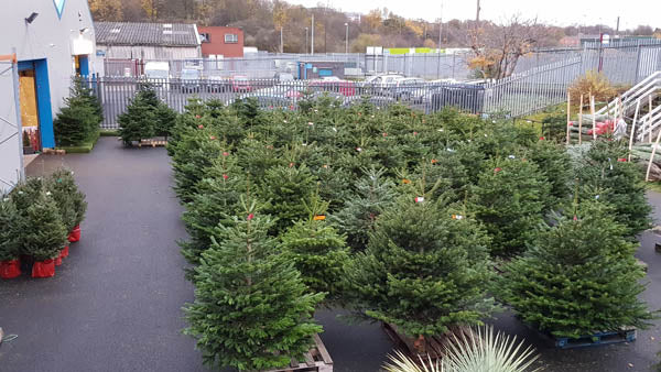 Over 800 Premium Christmas Trees To Choose From