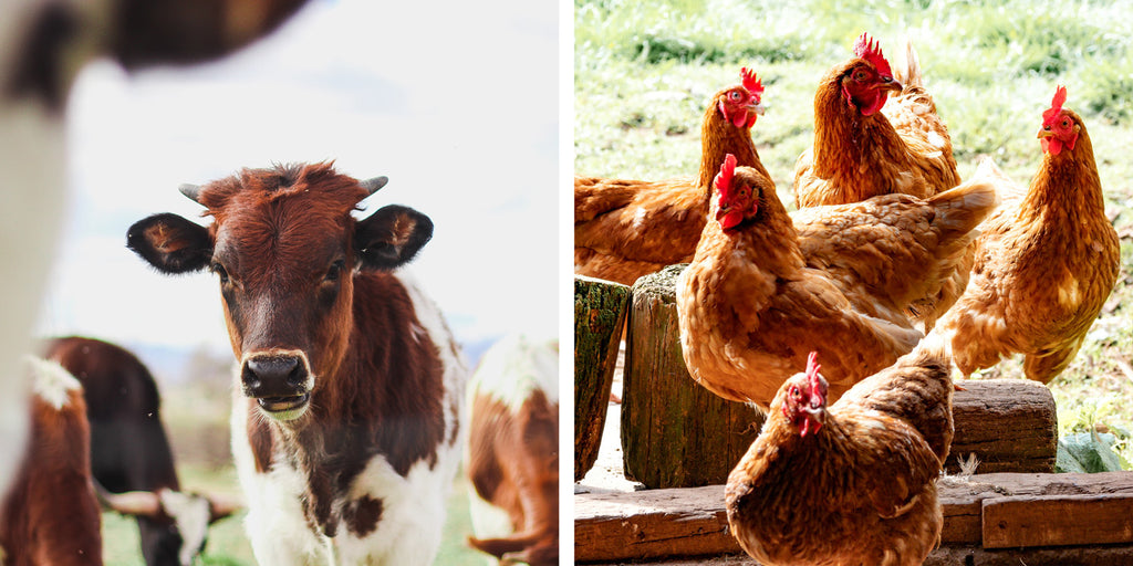 happy cows and chickens living in peace in a farm