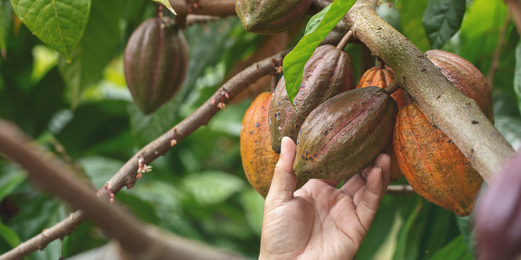 Cacao pod being picked