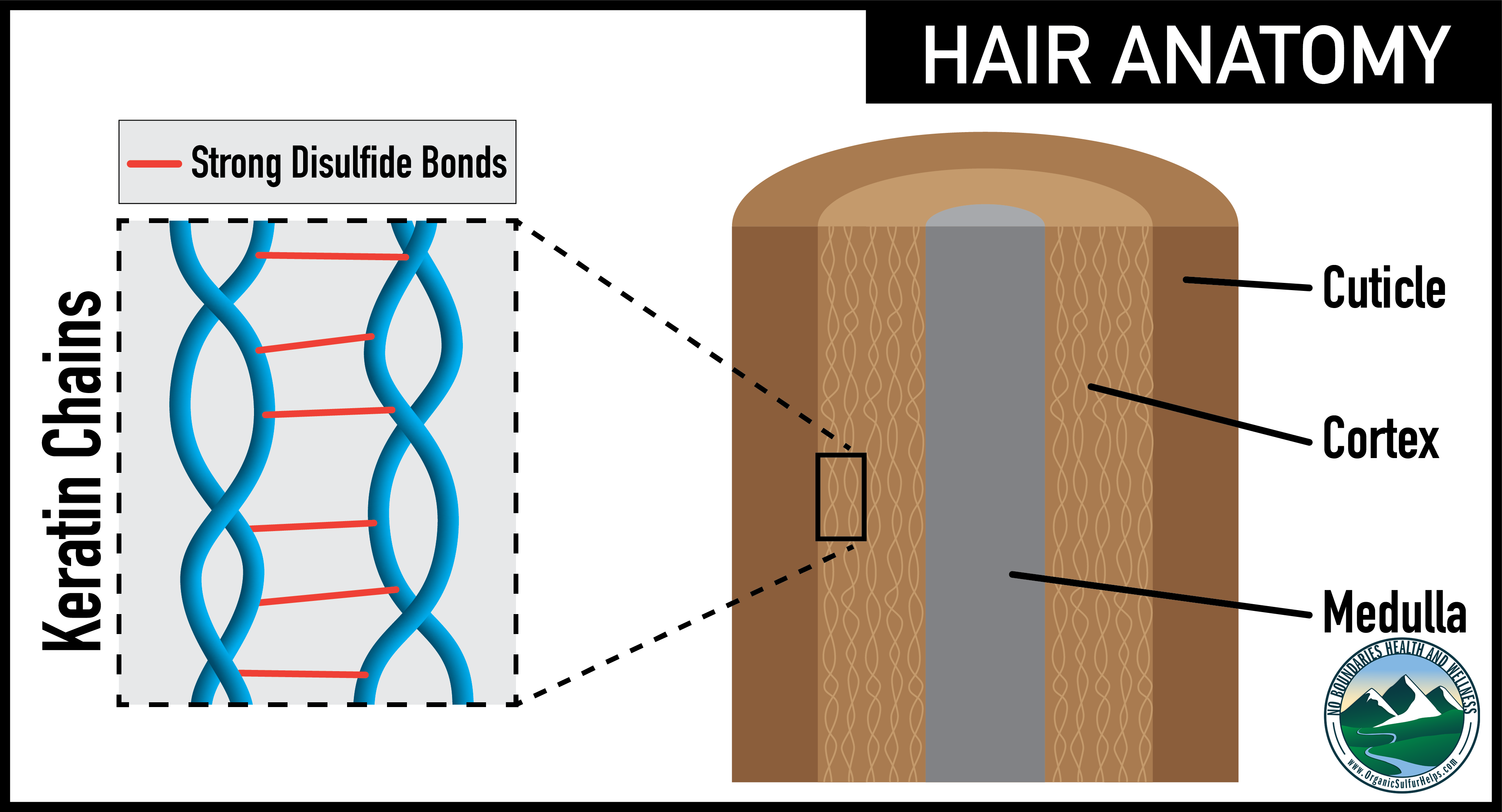 How sulfur helps hair anatomy
