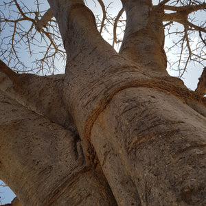 Tree Gift 'Baobab' - Audio CD