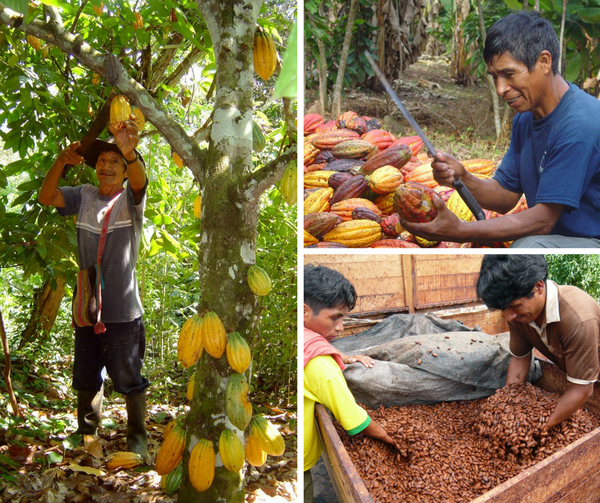 Organic Cocoa Farm Peru - www.chocolateandmoredelights.com