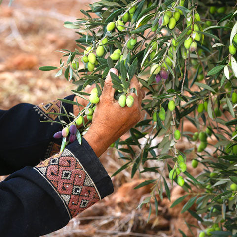 Canaan Palestine Olive Farming