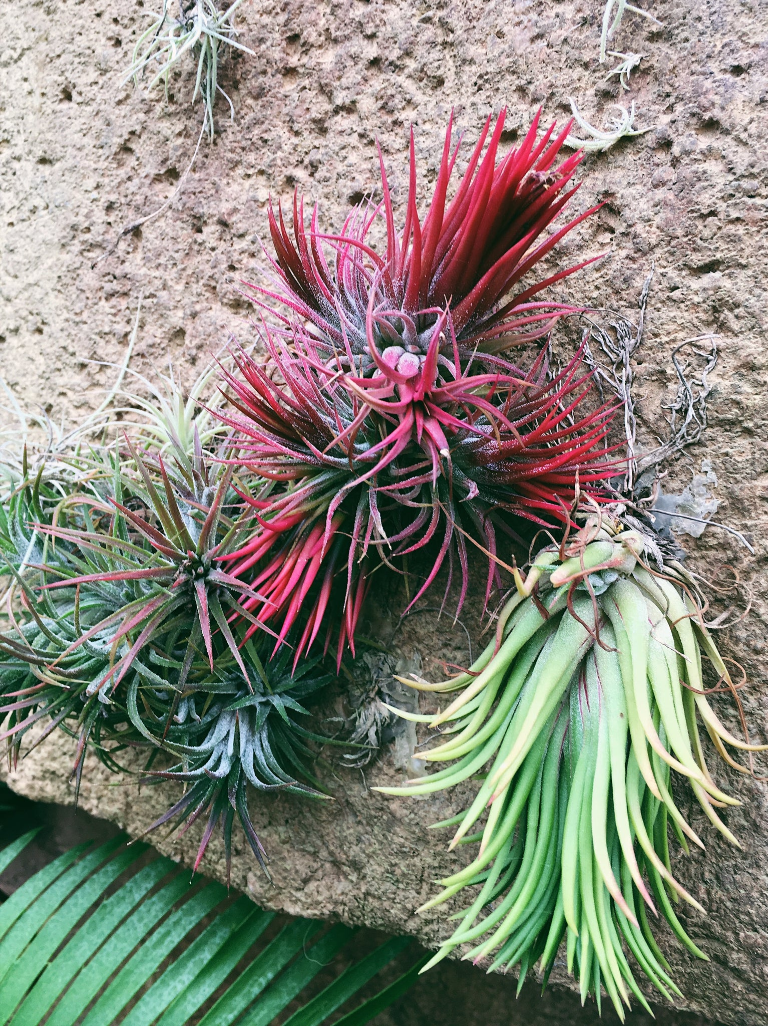 tillandsia paradise air plants