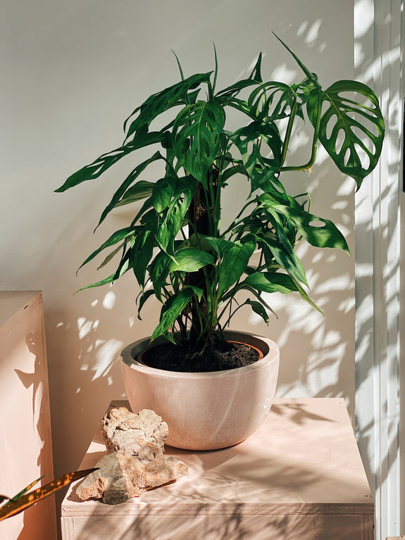 Monstera adansonii M