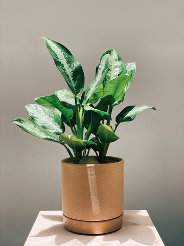 Aglaonema 'Pattaya Beauty'