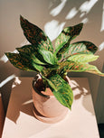 Aglaonema 'Wishes'