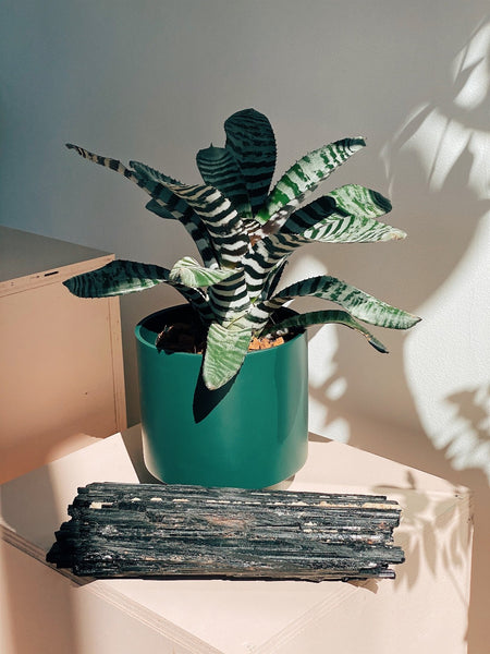 Aechmea chantinii 'Black'