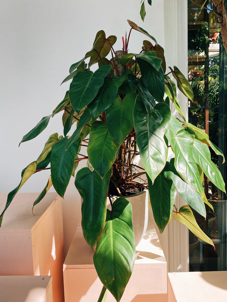 Philodendron erubescens 'Red Emerald'