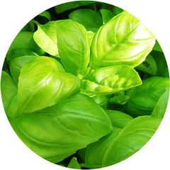 Plantable Pencil Basil