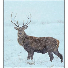 National Trust Stag Box of 8 Cards