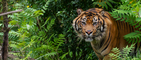 The endangered Sumatran Tiger. Image courtesy of Rainforest Trust