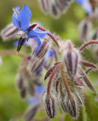plant borage with strawberries