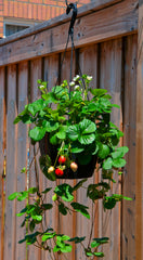 strawberries grow very well in hanging baskets!