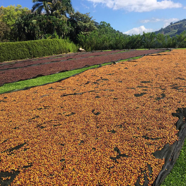 Natural process coffee drying