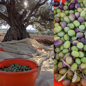 Olive harvesting at home
