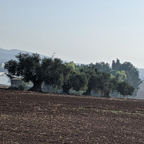Olive trees Jezreel Valley - Yooladesign
