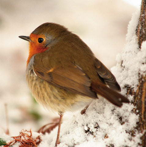 Christmas card - robin
