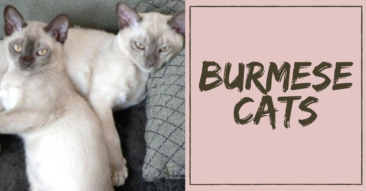 All About Burmese Cats Pet Clever