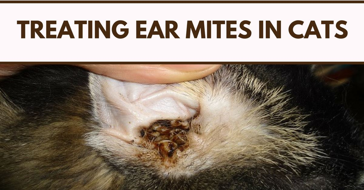 Treating Ear Mites In Cats Cat Ear Mites Solution Pet