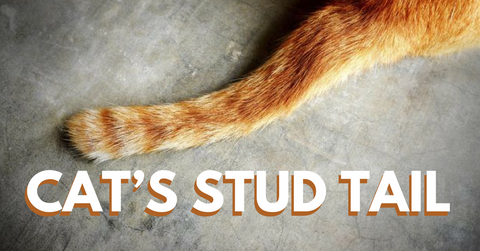 What To Know And What To Do About Cat S Stud Tail Pet Clever