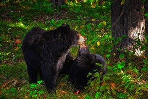 A walk with the smoky mountain bears