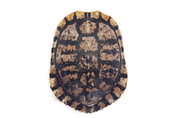 Spotted Turtle Shell