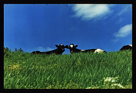 Cows, 100ft Drain, Welney 1993