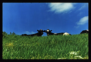 Cows, 100ft Drain, Welney, 1993