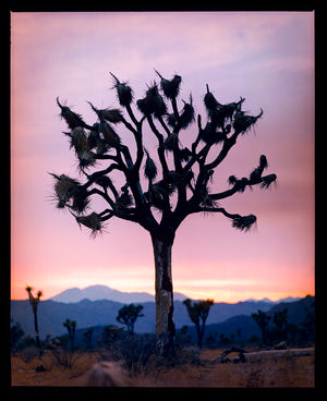The Joshua Tree in the rural landscape of the Mojave Desert, southeastern California and southern Nevada. Captured at dusk as part of Richard Heeps' Dream in Colour series.