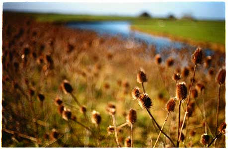 Old West River Teasels, Cottenham, Cambridgeshire 2002
