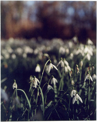 Snowdrops, Sedge Fen Drove, Wicken 2002
