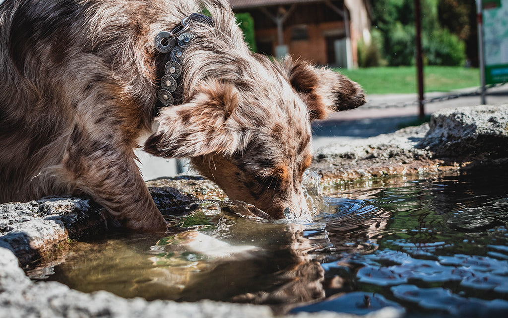 Dog drinking water from a park fountain