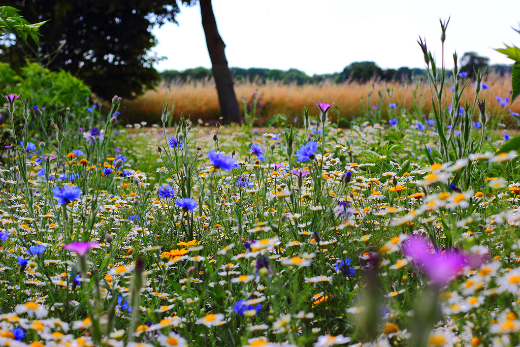 Wild flower field British Flowers