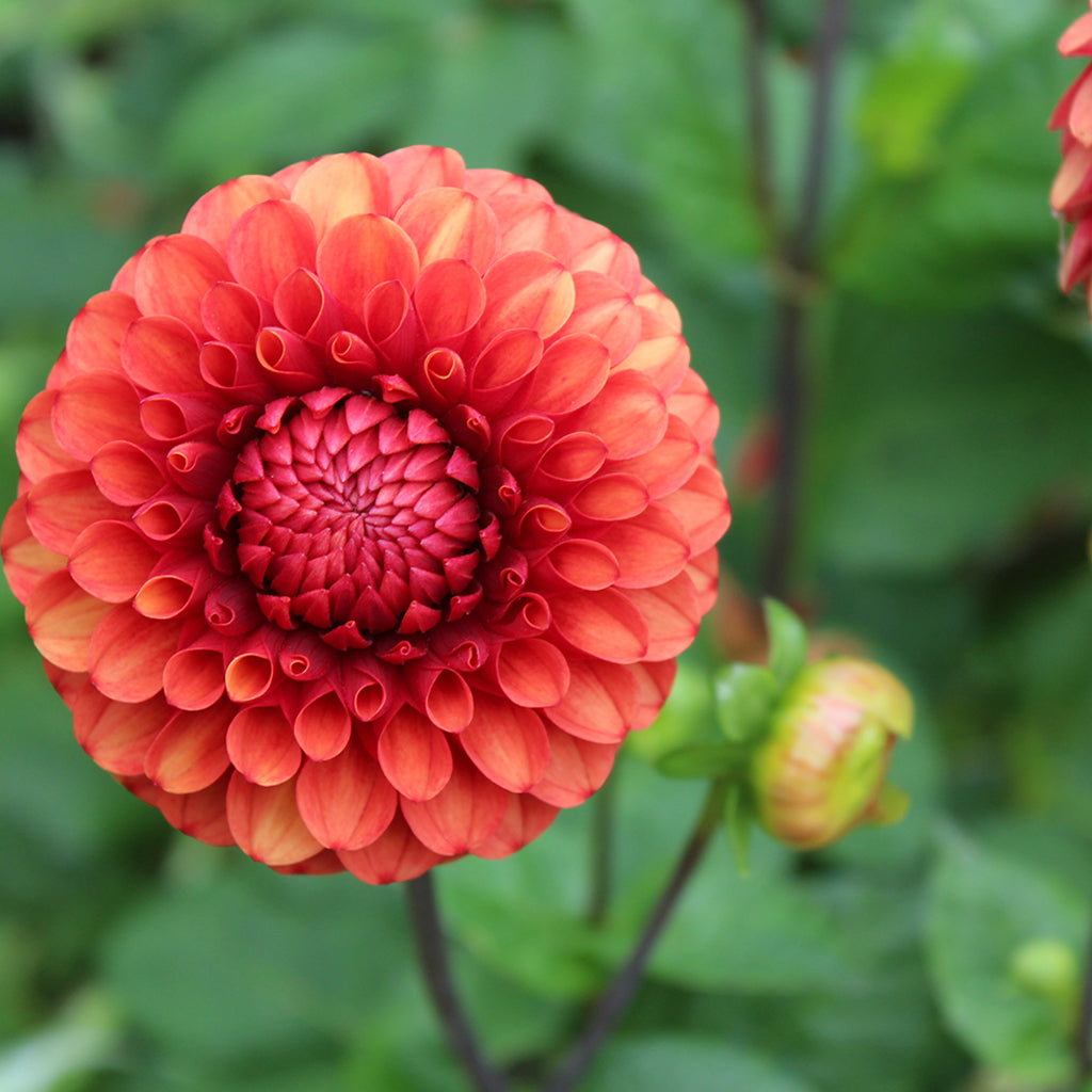 Brown Sugar Dahlia