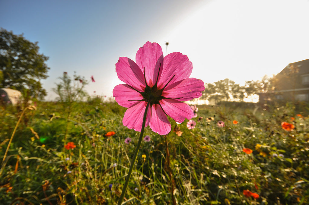 Flower Farm Pink Cosmos British Flowers
