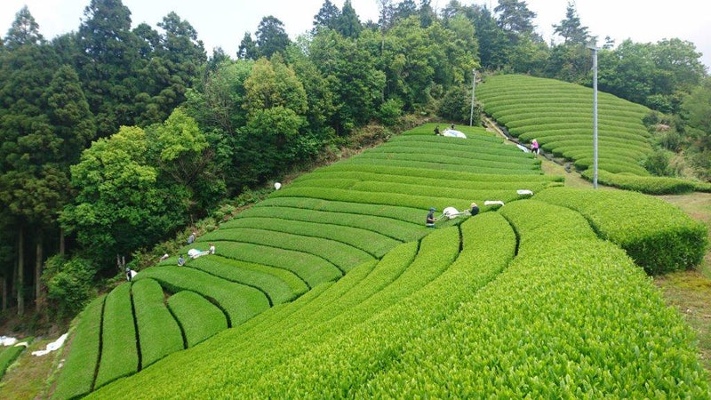 What regulations are involved in importing organic tea from Japan?