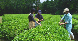 Tee-Picking-Events in ganz Japan
