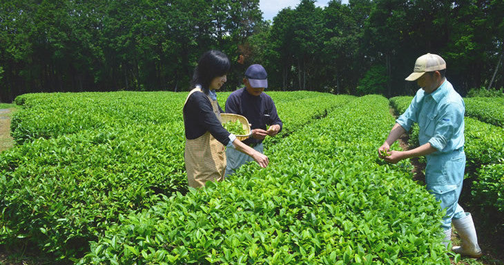 Tea picking events throughout Japan