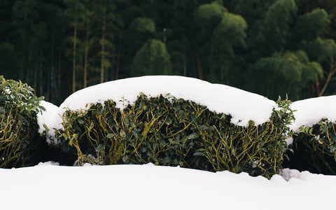 Snow covered tea fields, Yabe, Yame, Fukuoka (Chiyonoen Tea Farm)