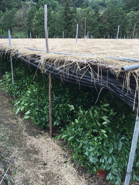 Traditional canopy shading at tea fields used by Yunomi's producer for the Yunomi Factory Direct organic matcha.