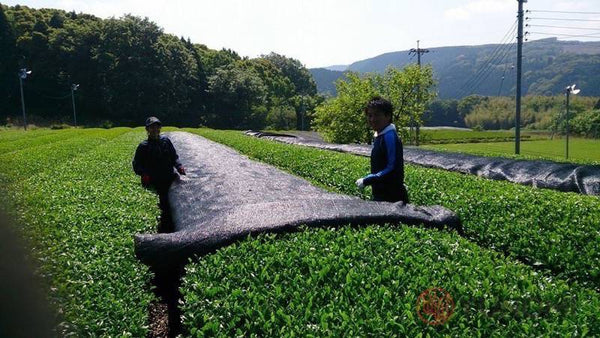 Direct shading at the Tomizawa Tea Farm