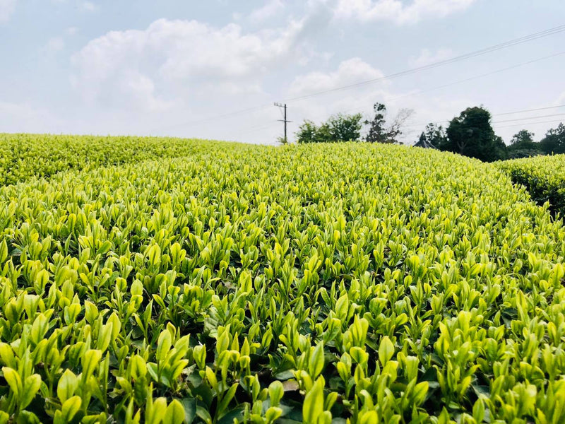 Kaneroku Matsumoto Tea Garden: Shincha - Limited Edition 新茶2021
