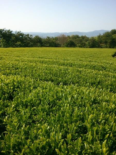 Chasandai: Takarabako Tea Farm's Shimane-grown Organic Sencha (Ships late June)